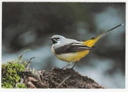Oiseaux - Bergstelze - Bergeronnette Des Ruisseaux - Motacilla Cinerea -Editeur:Ligue Suisse Protection Nature - Vogels