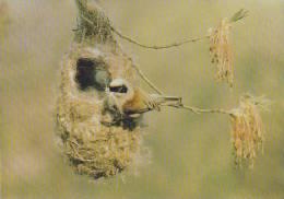 Carte Postale CP - Oiseau - MESANGE REMIZ / Sempach - TIT Bird Postcard -  MEISE Vogel Postkarte - 25 - Oiseaux