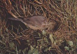 Carte Postale CP Oiseau - FAUVETTE PITCHOU / Sempach - DARTFORD WARBLER Bird Postcard - PROVENCE GRASMÜCKE Vogel - 46 - Oiseaux