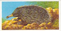 Brooke Bond Vintage Trade Card Incredible Creatures 1986 No 4 Spiny Anteater - Tea & Coffee Manufacturers
