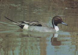 Carte Postale CP Suisse / Sempach - Oiseau - CANARD PILET - PINTAIL DUCK Bird Postcard - SPIESS ENTE Vogel - 71 - Birds