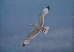 CP Suisse Sempach - Oiseau - MOUETTE TRIDACTYLE - KITTIWAKE Bird - DREIZEHENMÖWE Vogel - GABBIANO TRIDATTILO Uccelli 112 - Vogels
