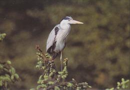 CP Suisse Sempach - Oiseau - HERON CENDRE Bird -  GRAU REIHER Vogel - AIRONE CENERINO Uccello - 120 - Birds