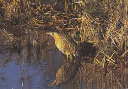 CP Suisse Sempach - Oiseau - BUTOR ETOILE - BITTERN Bird - ROHRDOMMEL Vogel - TARABUSO Uccello - 124 - Birds