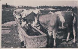 Troupeau De Vaches à La Fontaine (12522) - Elevage