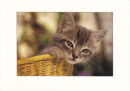 CPM CHAT CHATON CORBEILLE PHOTO ALAIN BAUDRY - Gatti