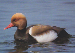 CP Suisse Sempach - Oiseau - CANARD NETTE ROUSSE - RED-CRESTED POCHARD Bird - KOLBEN ENTE Vogel - FISCHIONE TURCO - 157 - Oiseaux
