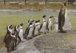 KING PENGUINS AT CHESSINGTON ZOO - Animals
