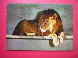 CPM LA FLECHE SARTHE ZOO DU TERTRE ROUGE BIRIMA LION D'AFRIQUE OCCIDENTALE   VOYAGEE 1971 TIMBRE - Lions