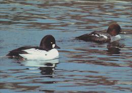 CP Suisse Sempach - Oiseau - CANARD GARROT A OEIL D´OR - GOLDENEYE Bird - SCHELLENTE Vogel - QUATTROCCHI - 161 - Oiseaux