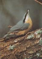 Carte Postale CP Oiseau Suisse Sempach - SITTELLE TORCHEPOT - NUTHATCH Bird - KLEIBER Vogel - 176 - Vögel