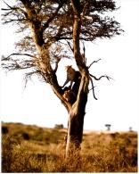 Photo - Afrique Du Sud - Botswana - Kalahari Gemsbok Nat. Park 1974 - Panthera Pardus - Léopard (proie Jeune Bubale) - Africa