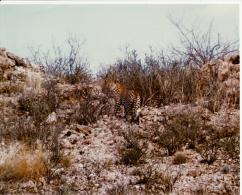 Photo - Afrique Du Sud - Botswana - Kalahari Gemsbok Nat. Park 1974 - Panthera Pardus - Léopard - Afrique