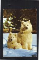 Chiens Samoyèdes , Carte Postale De Mégève 1988. - Hunde