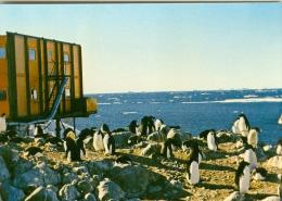 TERRE ADELIE - Manchots Adélies à La Rockerie - TAAF : Terres Australes Antarctiques Françaises