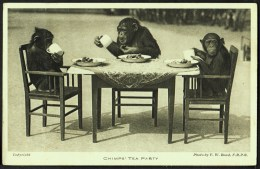 """""""Chimps Tea Party"""",   Photographed By 'F W Bond',   C1940. - Monkeys"""