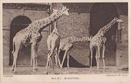 ZOO ANIMAL - GIRAFFES - Girafes