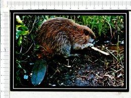 CASTOR  Du  CANADA  -   Canadian Beaver - Animaux & Faune