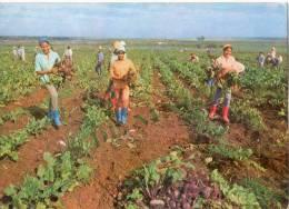 Lote PCU3, Cuba, Postal, Postcard, 8 De Marzo, Dia Internacional De La Mujer, Woman, Agriculture - Cuba