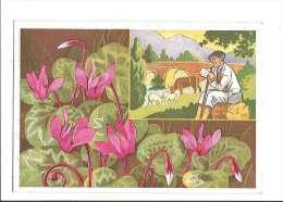FLEURS DES ALPES. - N°10. Cyclamens. (Fleur, Costumes, Illustrateur) - France