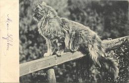CHAT SUR UNE BARRIERRE 1902 - Chats