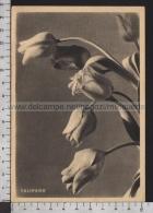 S6207 FIORI TULIPANO PUBBLICITARIA ALLA RINASCENTE PARATA DEL RAION - Fiori, Piante & Alberi