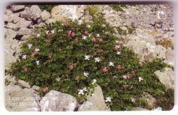 KAPAR - Capparis Spinosa (Croatia Chip Card ) Flora Flore Flower Fleur Flor Blume Fiore Bloem Flowers Fleurs Flors Fiori - Blumen