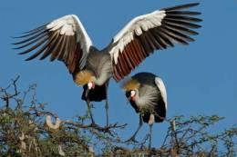 New Postcard, Postkarte, Carte Postale, Animal, Tier, Animale, Bird, Crowned Crane - Birds