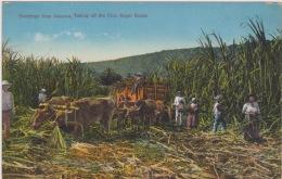 Jamaica - Sugar Plantation, Lively Scene. Postally Used, Descriptive Message, 1924. - Jamaïque