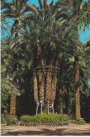 España--Elche--Huerto Del Cura--Palmera Imperial De Los Ocho Brazos - Árboles