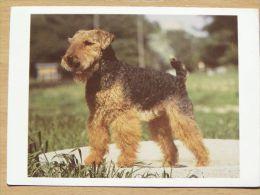 Dog  Chien  Hund  / Weish Terrier - Cani
