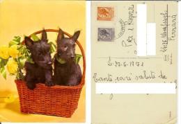 Cani: Fox Terrier (?) - Cuccioli. Cartolina Viaggiata 1971 (cane, Dog, Chien, Hund) - Chiens