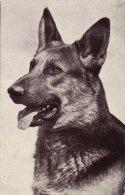 Photo Card Dog Alsatian German Shepherd Red Heart Series - Animals