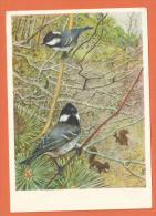 HA338,  Couple De Mésanges Noires, écureuil,  Circulée 1950 - Vogels
