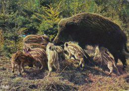 Cp , ANIMAUX , SANGLIER Et MARCASSINS - Tierwelt & Fauna