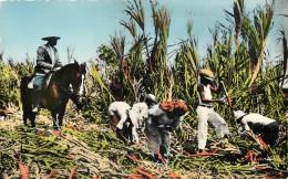GUADELOUPE RECOLTE DE CANNE A SUCRE - Guadeloupe