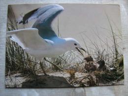 Nordsee Insel AMRUM - Seagul Feeding Babies     D106605 - Pájaros
