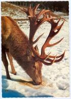 AK Hirsch Alpenwildpark 8953 Donnersbachwald Wildpark Deer Stag Cervo Cerf Wild Steiermark Österreich Austria Autriche - Animaux & Faune
