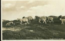 Rar Selten Schaaf Sheep Moutons In Den Dünen Auf Sylt Sw 3.2.1935 - Autres