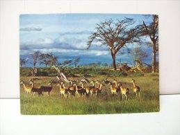 """Faune Africane  """"Impalas""""  (Camerun) - Camerun"""