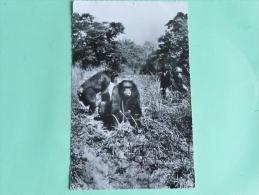 CHIMPANZES - Affen
