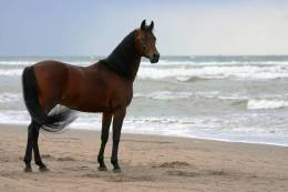 New Postcard, Postkarte, Carte Postale, Animal, Tier, Animale, Horse, Beach, Coast - Horses