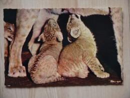 Repas Des Bebes Lions  Faune Afriquaine - Lions