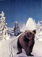 (361M) Bear - Ours Pyrénées - Beren