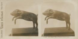 Pompei,Napoli,Museo, Porco, S160, Cochon - Stereoscopi