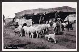 IQ) Flock Of Sheep And Arab Tent - Iraq - Iraq