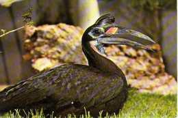 OISEAUX  - CALAO Du Parc Ornithologique De La DOMBES  01 - Birds
