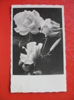 Roses,UNTERDRAUBURG-DRAVOGRAD ZIG - Botanik