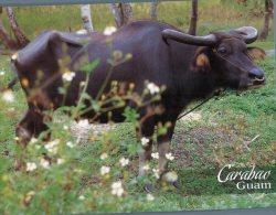 (876) Guam - Carabao - Water Buffalo - Guam