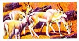 Brooke Bond Trade Card Asian Wildlife No 36 Goitred Gazelle - Tea & Coffee Manufacturers